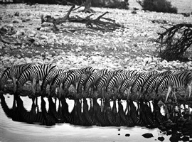 mountain zebra [they are confined to hilly country] by sebastião salgado